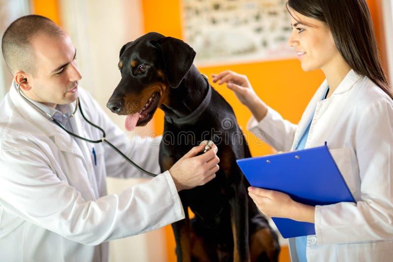 Veterinarians listen with stethoscope Great Done dog with stetho. Veterinarians listen sick Great Done dog with stethoscope in vet clinic stock photo