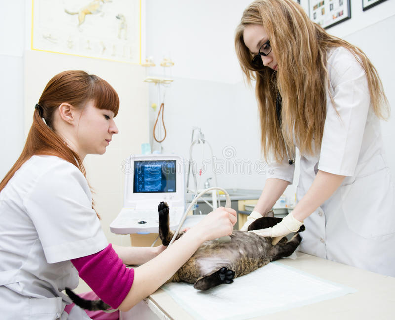 Veterinarians performed an ultrasound examination a cat.  royalty free stock image