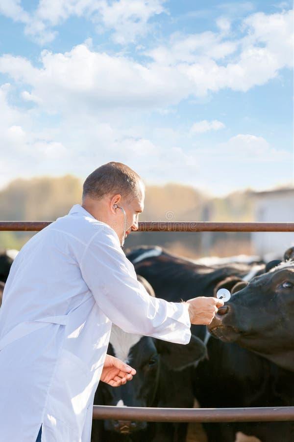 Veterinario al bestiame dell'azienda agricola immagini stock