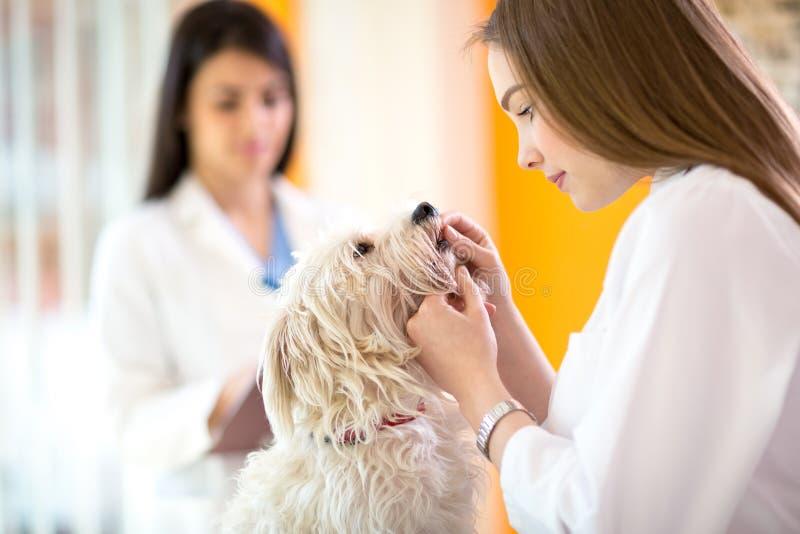 Veterinario che controlla i denti del cane maltese fotografia stock