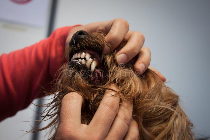 Veterinario che esamina i denti di un cane fotografia stock