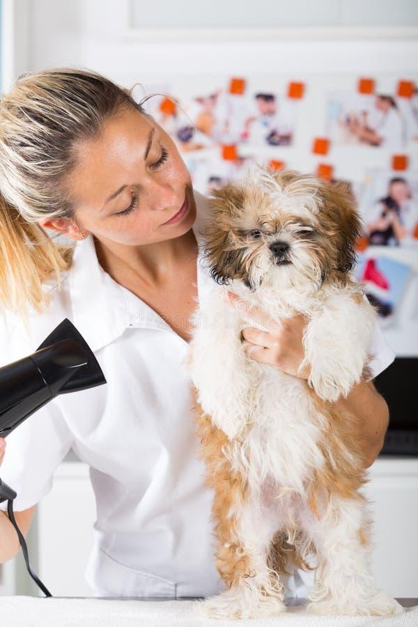 Veterinario con su perro Shih Tzu imagen de archivo