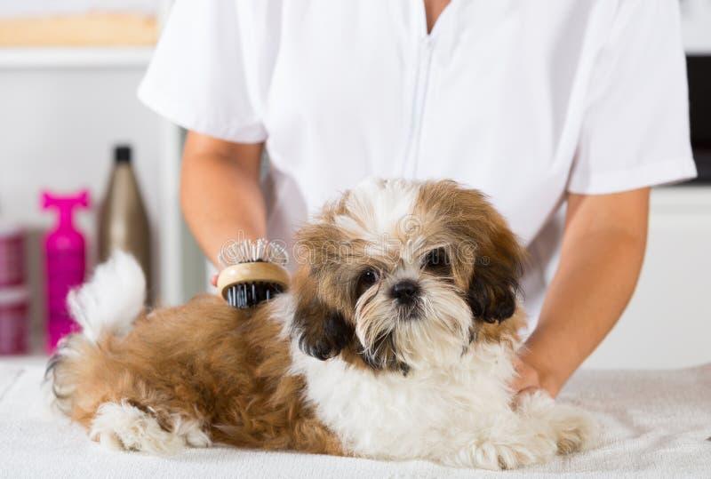 Veterinario con su perro Shih Tzu foto de archivo