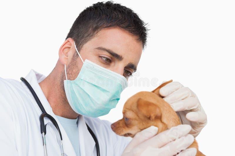 Veterinario de sexo masculino que sostiene y que examina el oído de una chihuahua imagenes de archivo