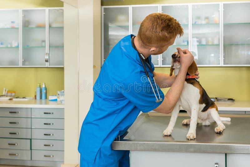 Veterinario examing el perro lindo del beagle foto de archivo