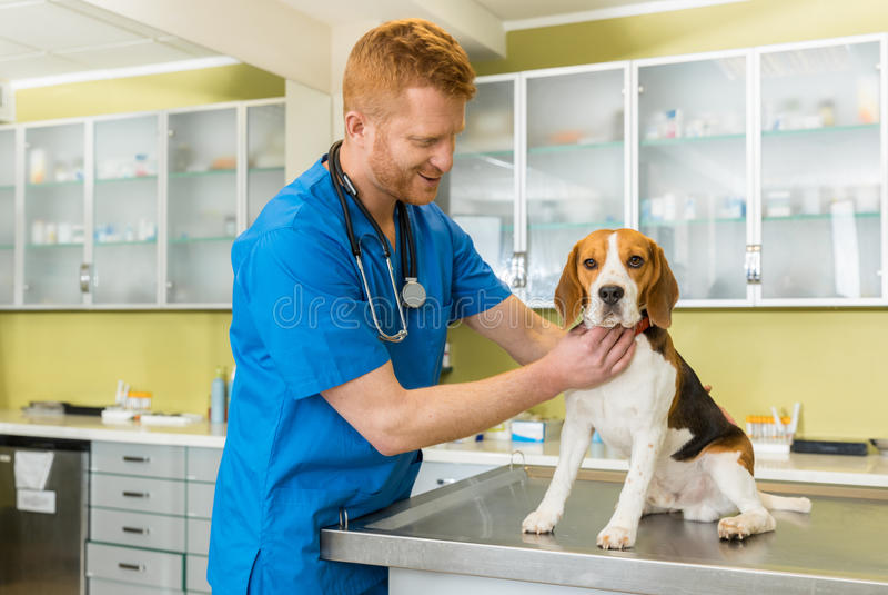 Veterinario examing el perro lindo del beagle imagen de archivo