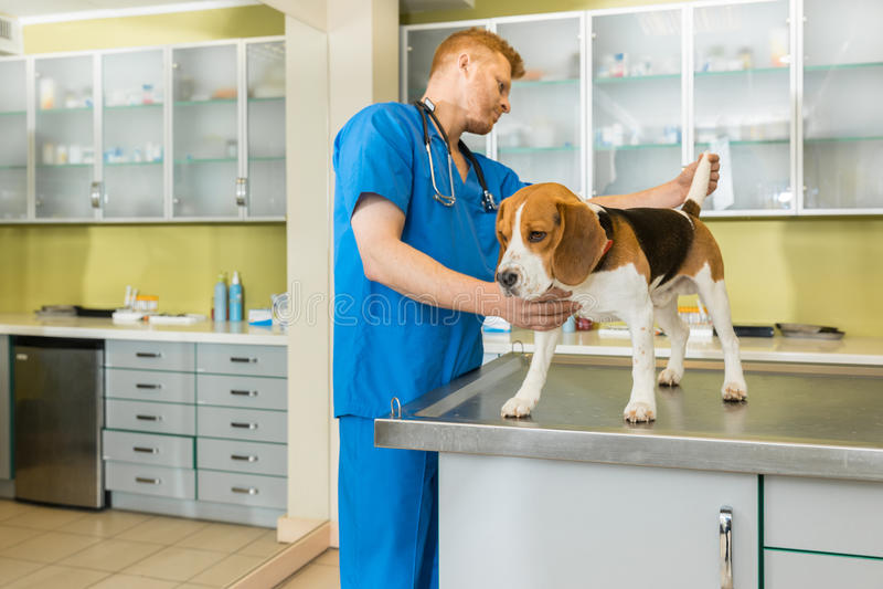 Veterinario examing el perro lindo del beagle imagenes de archivo