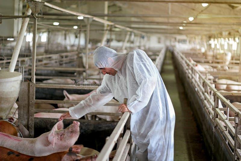 Veterinario Examining Pigs en una granja de cerdo imágenes de archivo libres de regalías