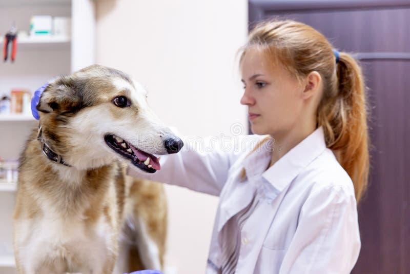 Veterinario femminile che esamina un cane in una clinica del veterinario immagini stock