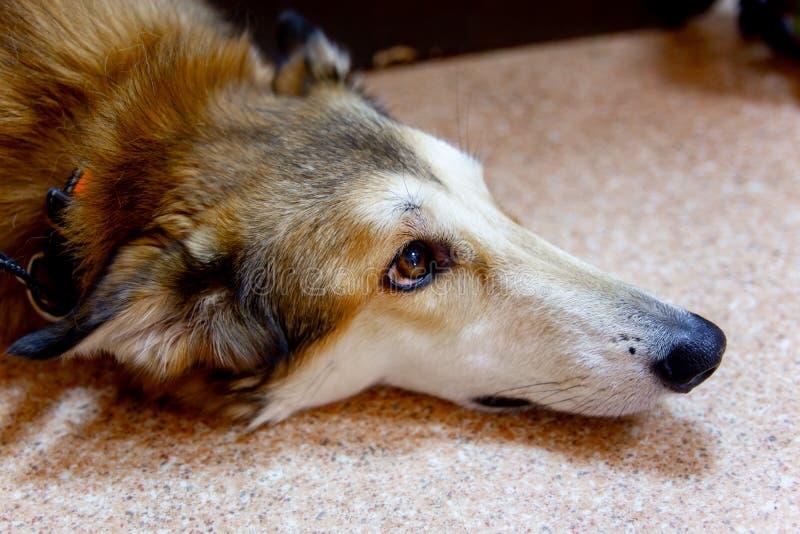 Veterinario femminile che esamina un cane in una clinica del veterinario fotografia stock libera da diritti