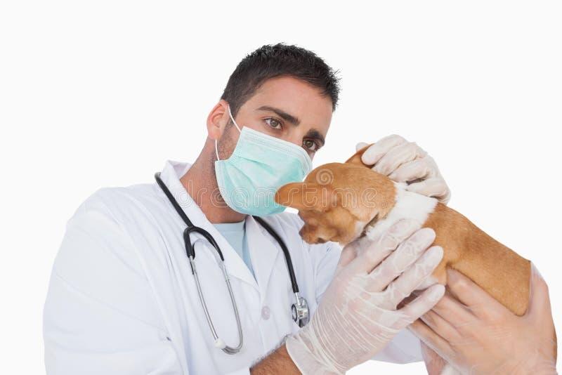 Veterinario maschio che esamina l'orecchio di una chihuahua immagine stock libera da diritti