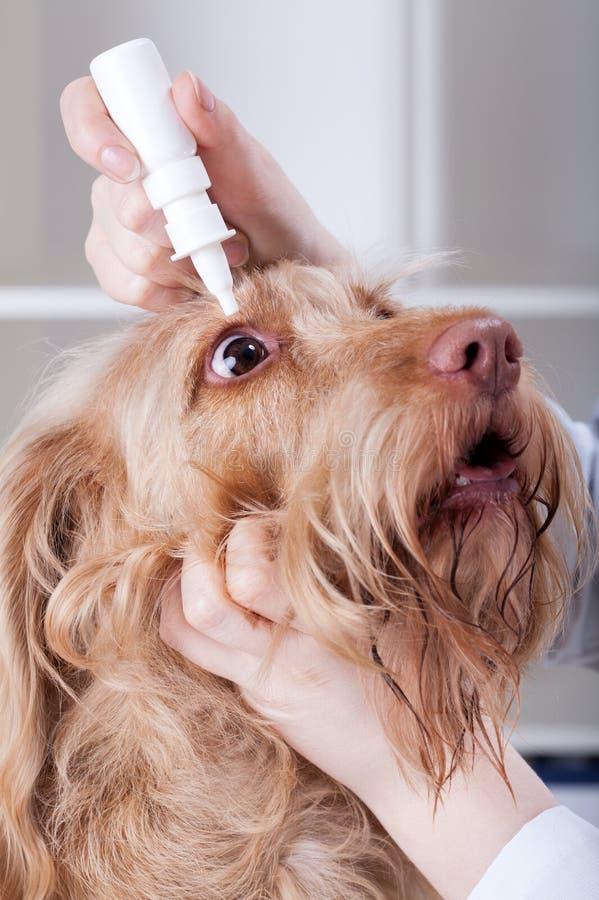 Veterinario que aplica descensos de ojo a un perro fotografía de archivo libre de regalías