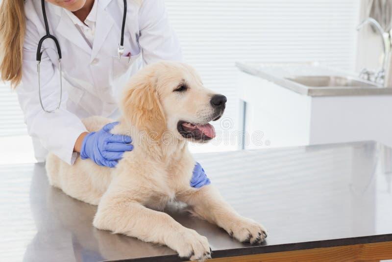 Veterinario que da a un perro un control para arriba foto de archivo