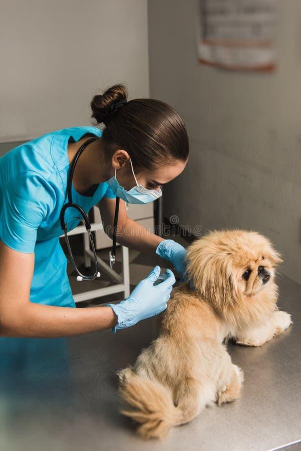 Veterinario que da una inyección al perro imagenes de archivo