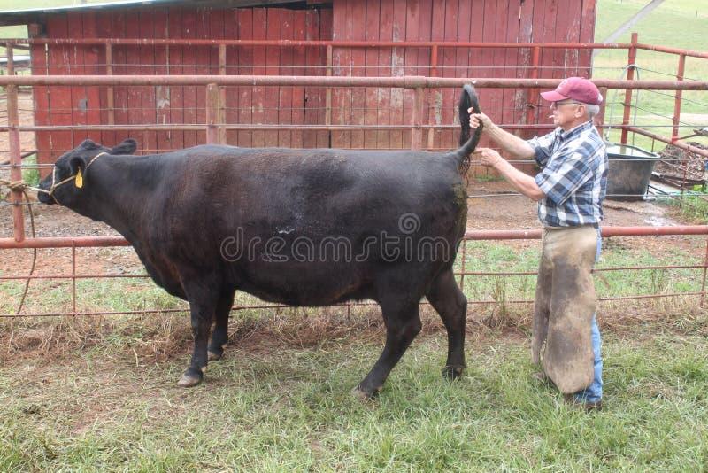 Veterinario que da a una vaca un tiro en la cola fotos de archivo libres de regalías