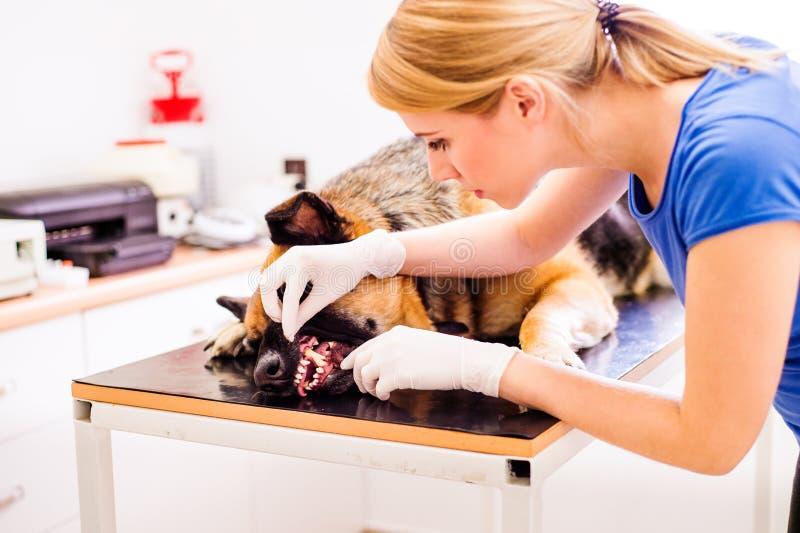 Veterinario que examina el perro de pastor alemán con la boca dolorida imagenes de archivo