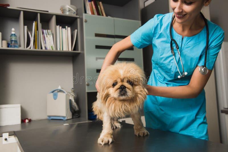 Veterinario que examina el perro en una clínica imagenes de archivo