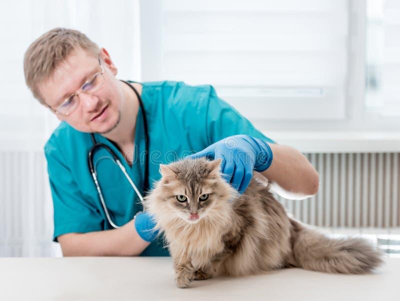 Veterinario que hace el control regular para arriba de un gato en la oficina veterinaria foto de archivo libre de regalías