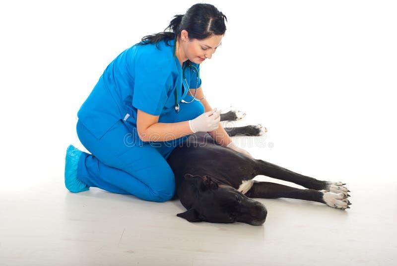 Veterinario que lleva temperatura un perro grande foto de archivo
