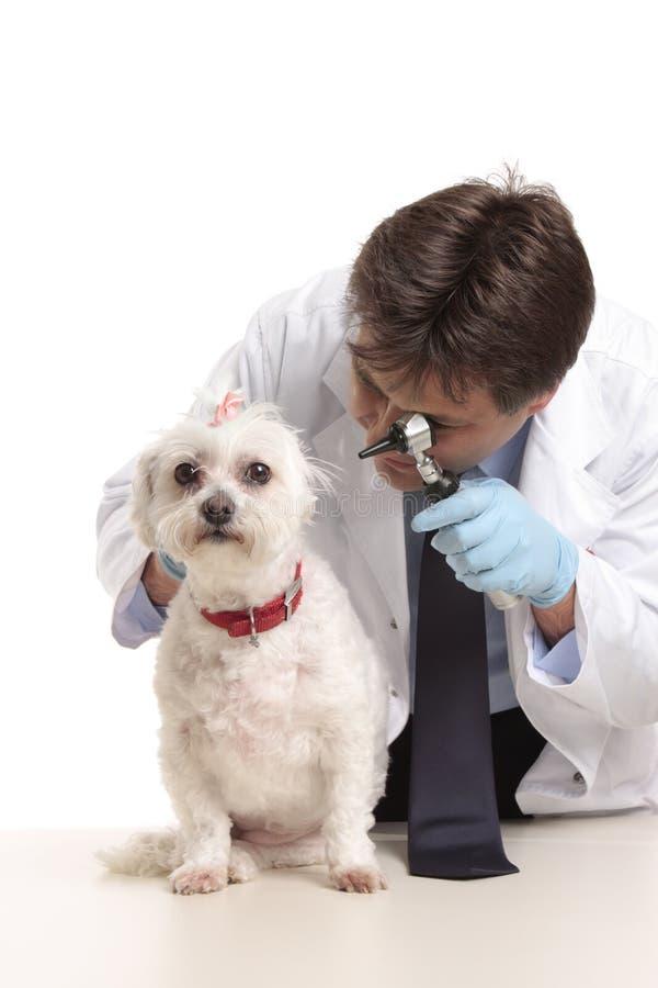 Veterinario que revisa los oídos de perros fotos de archivo