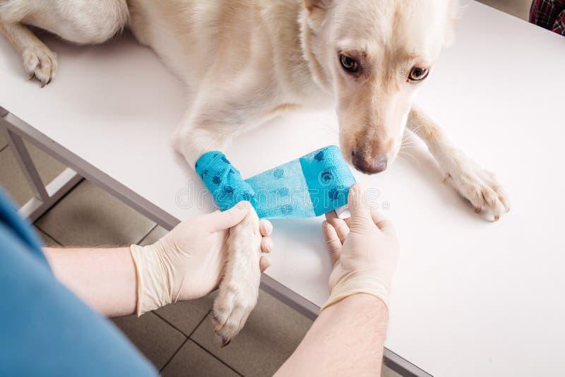 Veterinario que venda la pata de un perro imágenes de archivo libres de regalías