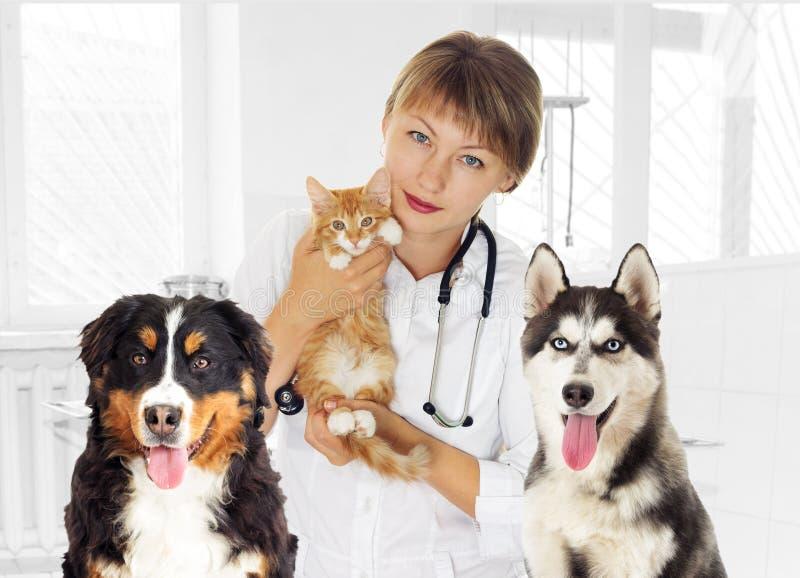 Veterinario y gatito y perro fornido y la montaña D de Bernese foto de archivo libre de regalías