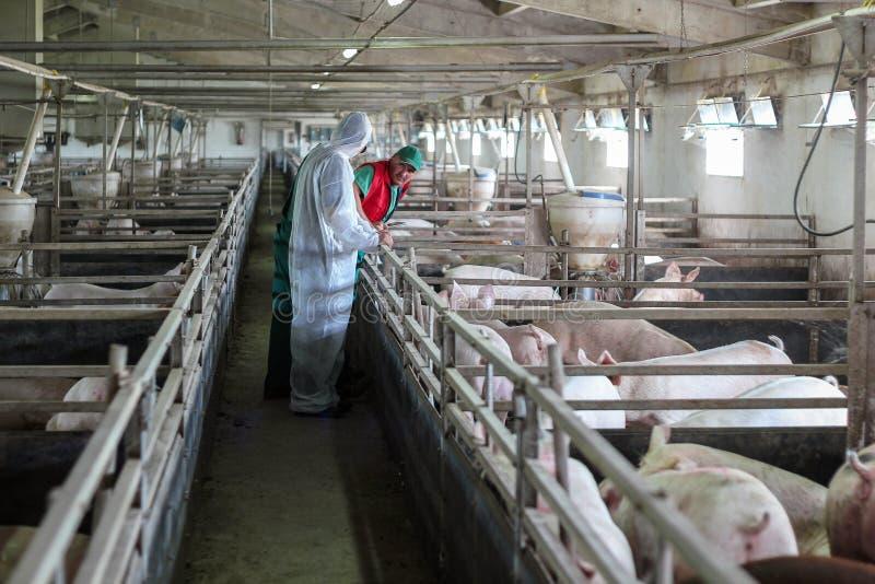 Veterinario y granjero Working Together imagen de archivo libre de regalías
