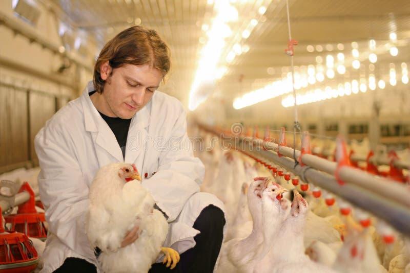 Veterinario y pollo fotografía de archivo libre de regalías