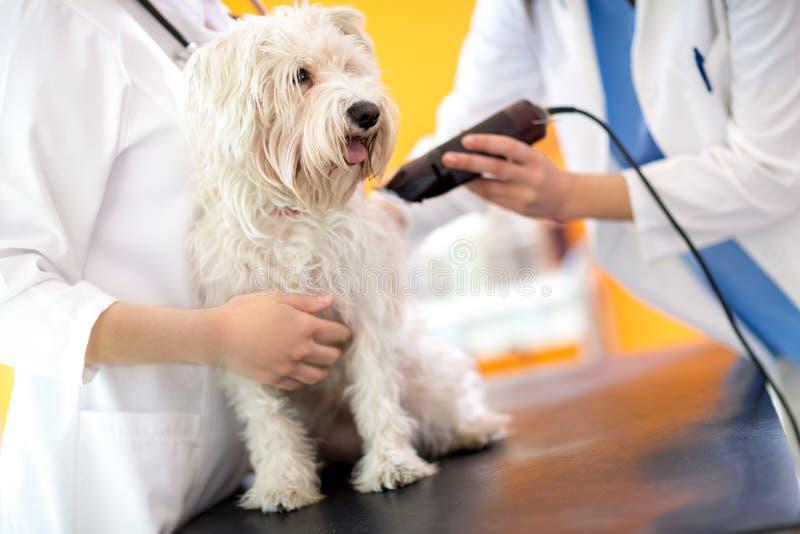 Veterinarios que arreglan la pieza de pelo y que preparan el perro maltés FO foto de archivo libre de regalías