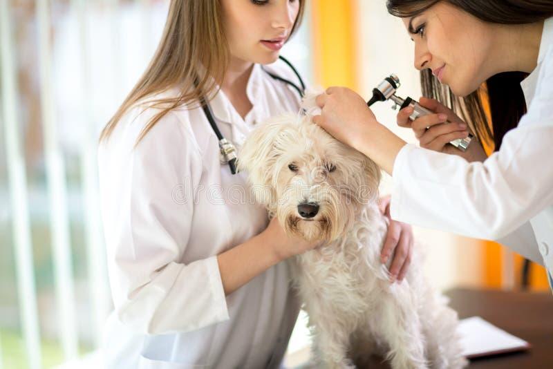 Veterinarios que examinan el oído maltés en la clínica del veterinario imagen de archivo