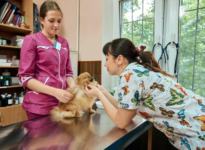 Veterinarios que examinan el perro pomeranian imagen de archivo