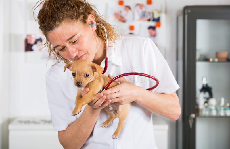 Veterinary с щенком чихуахуа стоковое изображение rf
