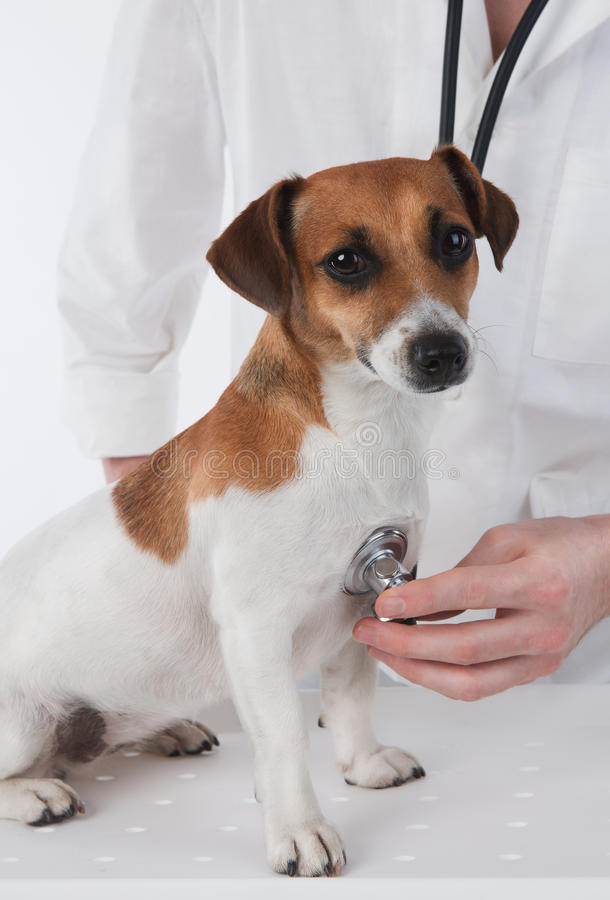 Veterinary. Dog Jack Russell terrier is having medical examination by vet stock photography