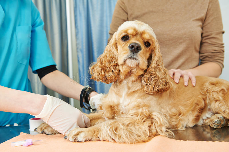 Veterinary blood test examination of the dog. Veterinarian surgeon worker making medical examination blood test of dog in veterinary surgery clinic stock photography