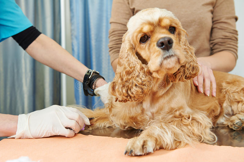 Veterinary blood test examination of the dog. Veterinarian surgeon worker making medical examination blood test of dog in veterinary surgery clinic stock photo