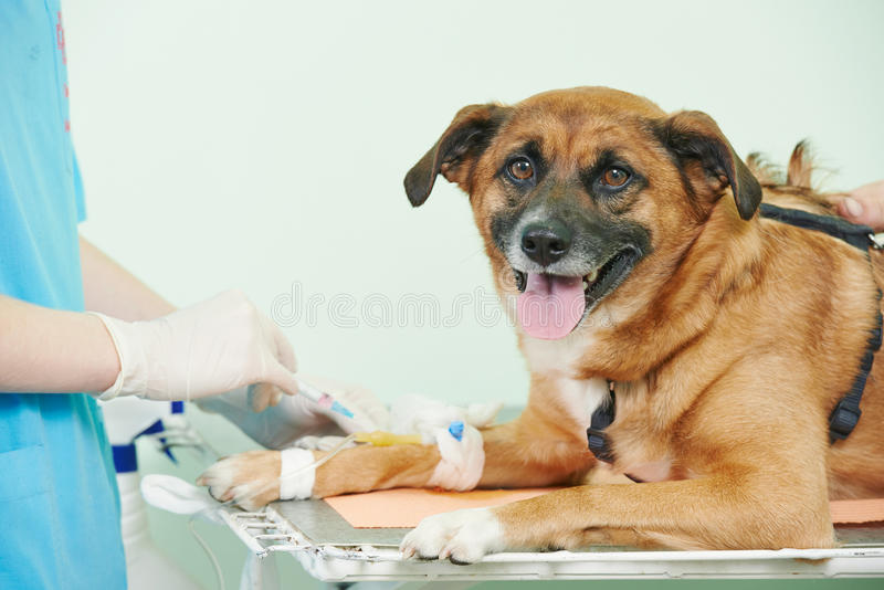 Veterinary blood test examination of the dog. Veterinarian surgeon worker making medical examination blood test of dog in veterinary surgery clinic stock photos