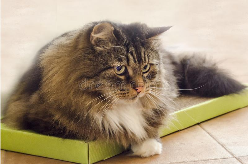 Veterinary clinic for pets. angry, scared and aggressive look of a wild animal. Fluffy gray domestic cat with green eyes lies in a box. a shelter for the royalty free stock photo