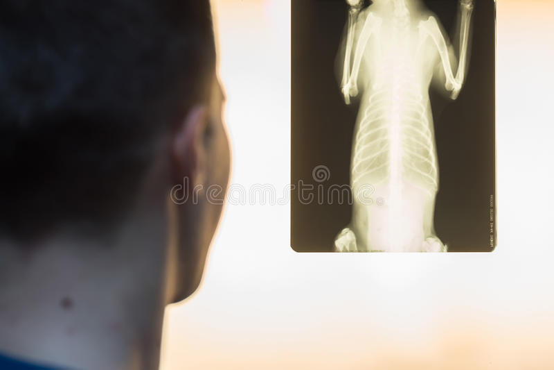 Veterinary doctor examining pet radiograph. Close-up of veterinary physician examining pet radiograph stock image
