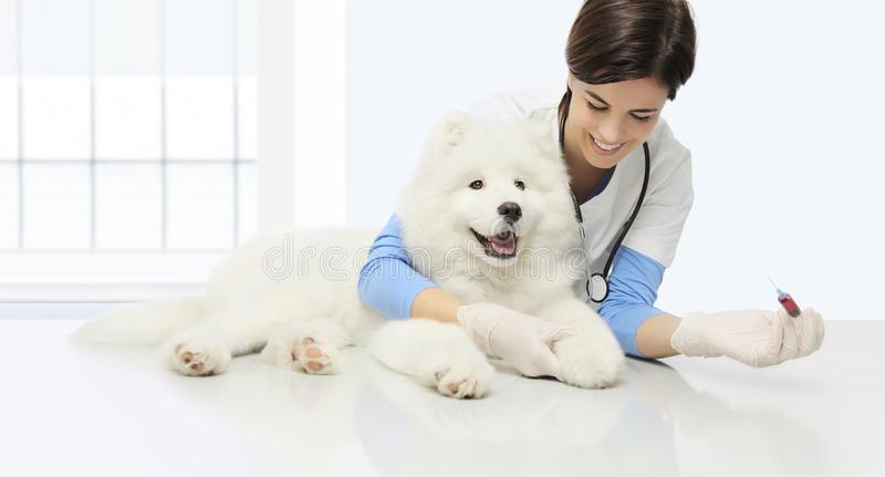 Veterinary examination dog, blood test, smiling veterinarian wit royalty free stock photography
