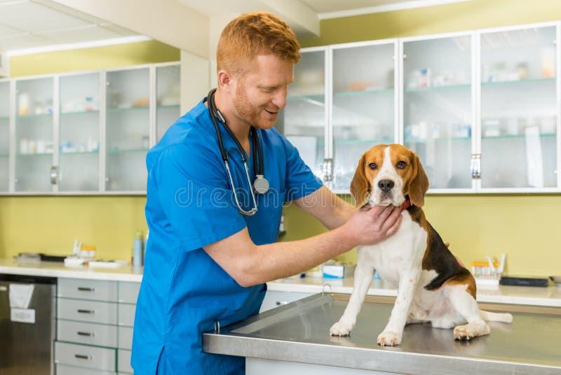 Veterinary examing cute beagle dog stock image