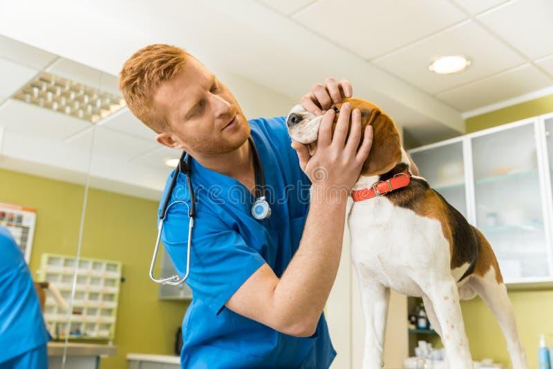 Veterinary examing cute beagle dog stock photography