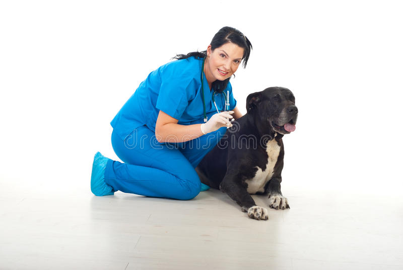 Veterinary preparing to vaccine big dog stock images