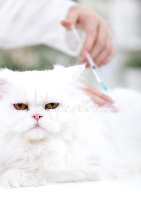 Veterinary surgeon is giving the vaccine to the white Persian ca. Vet giving the vaccine to the white Persian cat royalty free stock photography