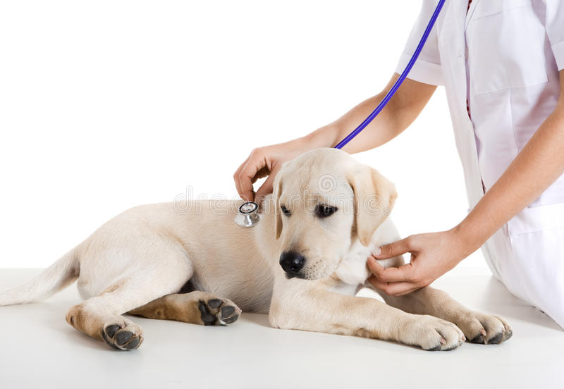 Veterinay die een hond behandelt stock afbeelding