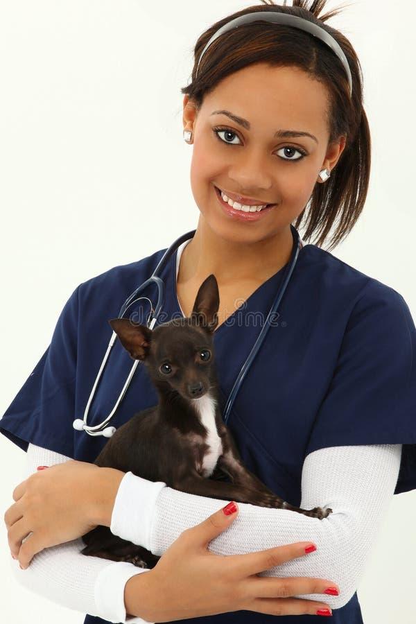 Veternarian adulto novo bonito com chihuahua fotografia de stock