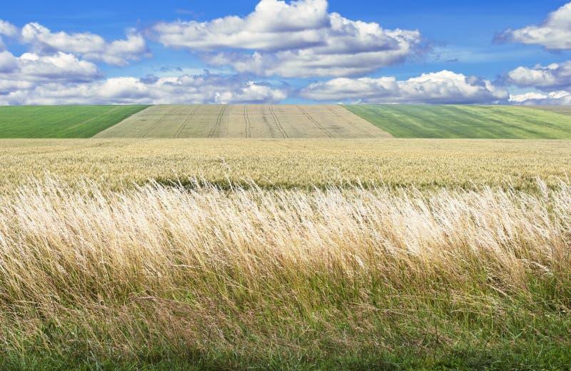 Vetes grässlätt arkivbilder