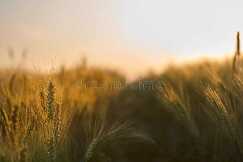 Vetestjälk mot gryningen Solstrålar som passerar genom vetet royaltyfri bild