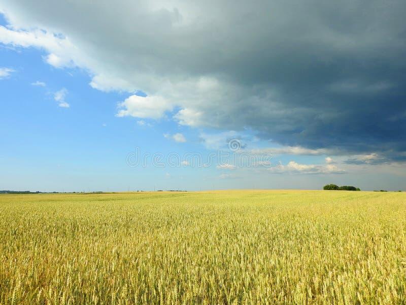 Veteväxtfält och härlig molnig himmel, Litauen arkivfoto