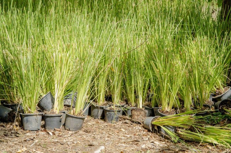 Vetiver Grass. (Vetiveria zizanioides). stock image