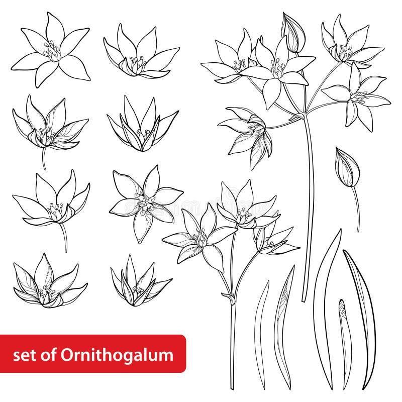 Vetor ajustado com o grupo da flor do Ornithogalum ou da estrela de Belém do esboço, o botão e as folhas no preto isolados no fun ilustração stock